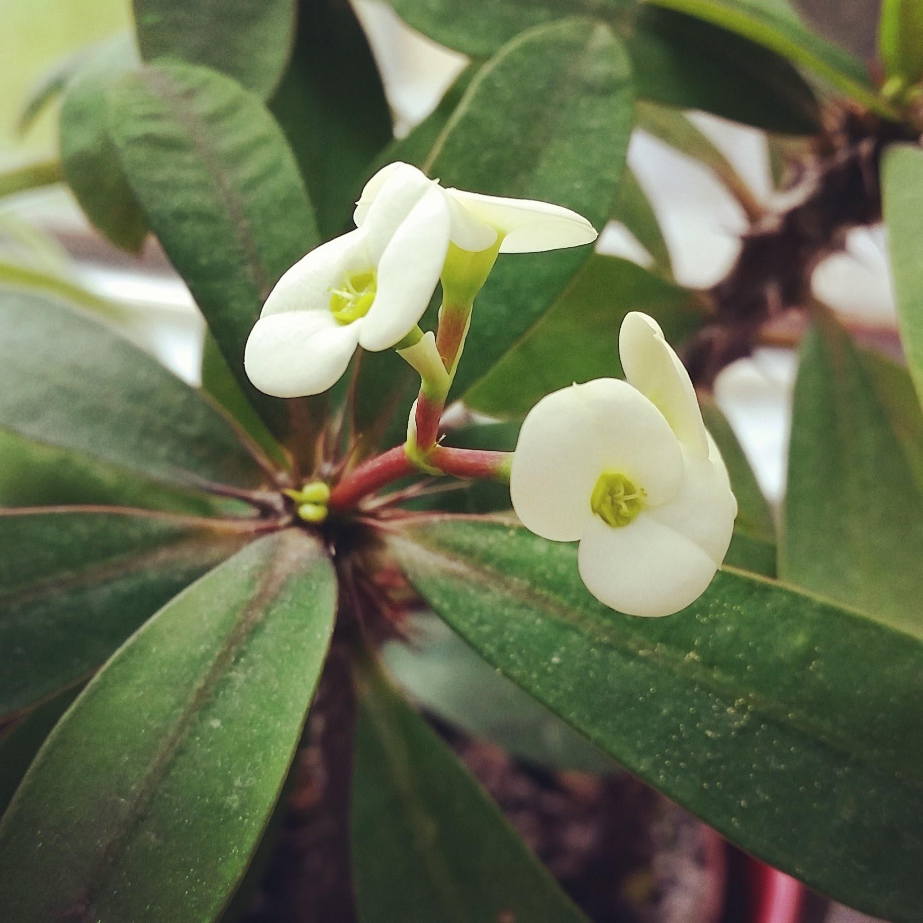 Euphorbia christusdorn timo 39 s blog - Wolfsmilch zimmerpflanze ...