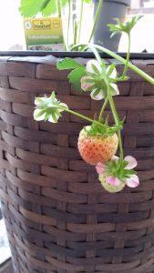 Erdbeerbäumchen