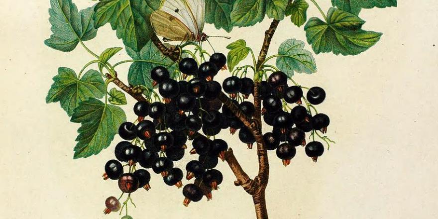 Schwarze Johannisbeere