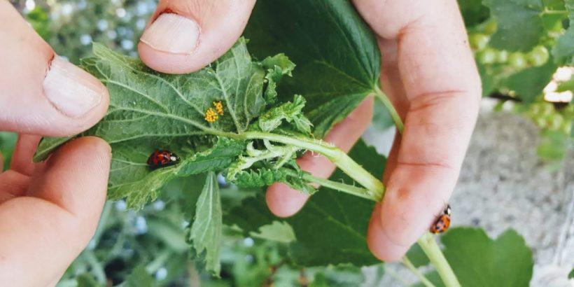 Marienkäfer im eigenen Garten