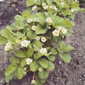 Erdbeeren - Gattung Fragaria