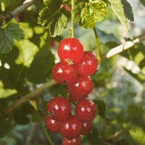 Rote Johannisbeere 'Junifer'